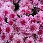 """Pink Mums"" by PaulCoco"