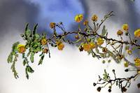 acacia twig with flowers
