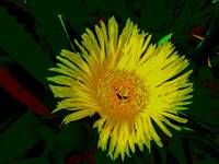 yellow cactus flower of mother in law's tongue