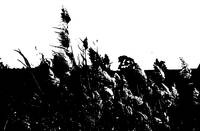 bullrushes in b&w