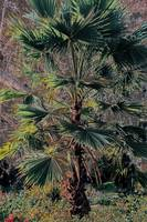 young palm