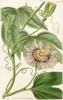 Water Lemon Passion Flower Botanical Illustration