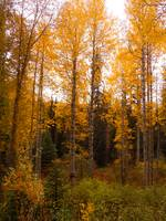 Aspens and fir forests in fall, Mccall, ID