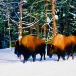 """Yellowstone in Winter"" by matthewjackson"