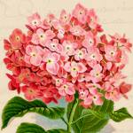 """pink hydrangea vintage"" by lizmix"