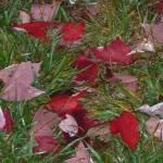 """Fallen Red Leaves"" by TaylorMadeArt.US"