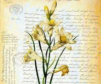 lilies and script