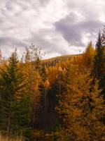 Larches in full folage, Kettel River Range