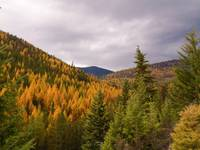 Larches near Sherman Pass, WA