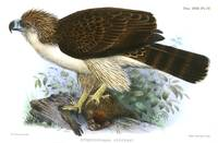 An illustration of a Philippine eagle