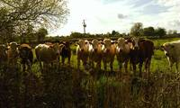 Irish Cows