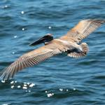 """Flying Brown Pelican"" by Groecar"