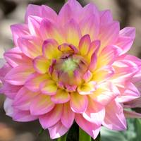 Dahlia Speak to Me in Pink