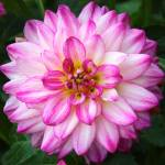 """Pink and White Dahlia Square"" by Groecar"
