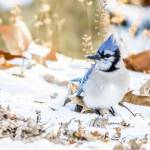 """Blue Jay"" by WildAboutNaturePhotography"