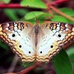 """""""Beautiful Butterfly"""" by Groecar"""