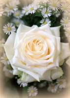 Romantic White Rose