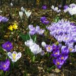 """Field of Spring Crocus Flowers"" by vpicks"