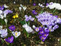 Field of Spring Crocus Flowers