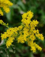 The road was lined with Goldenrod