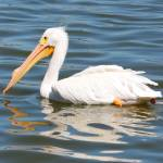 """White Pelican Swirls"" by Groecar"