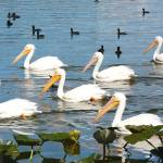 """White Pelicans and Friends  107"" by Groecar"