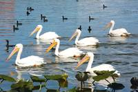 White Pelicans and Friends  107