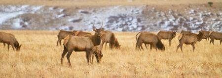 Elk Heard Colorado Foothills Plains Panorama