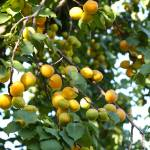 """Beautiful Apricots on Fruit Tree"" by Groecar"