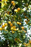 Beautiful Apricots on Fruit Tree