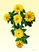 Zinnia Cross