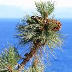 """Ponderosa Pine Cones at Lake Tahoe"" by Groecar"