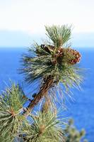 Ponderosa Pine Cones at Lake Tahoe