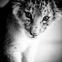Lion Cub Art Prints & Posters by Beth Wold