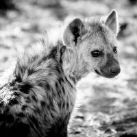 Spotted Hyena II Art Prints & Posters by Beth Wold