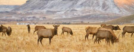 Elk Heard Grazing Rocky Mountain Foothills Pano
