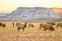Elk Heard Grazing Rocky Mountain Foothills