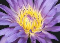 Centered Water Lily