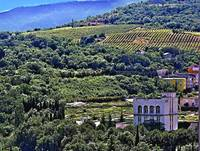 Vineyards In The Crimea