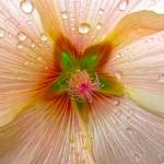"""""HollyHock after the Rain"""" by AlexandraZloto"