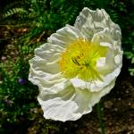 """""White Poppy"""" by AlexandraZloto"
