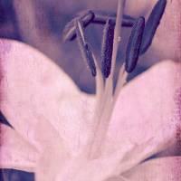 lily Art Prints & Posters by Iris Lehnhardt