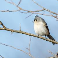 Tufted Titmouse Art Prints & Posters by Laura Frazier