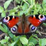 """Peacock Butterfly"" by Groecar"
