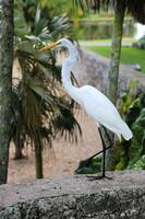 Stepping Out Great Egret