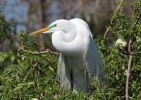 Resting Great Egret