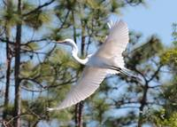 Great Egret Spirit
