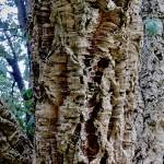 """Close  Up Cork  Tree"" by RickTodaro"