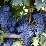 """Spanish Grapes"" by Groecar"
