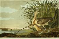 John-James-Audubon-Long-Billed-Curlew